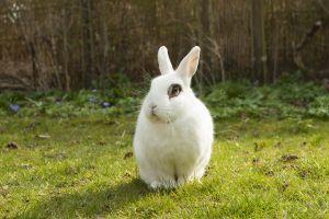 Encefalitozoonóza králíků