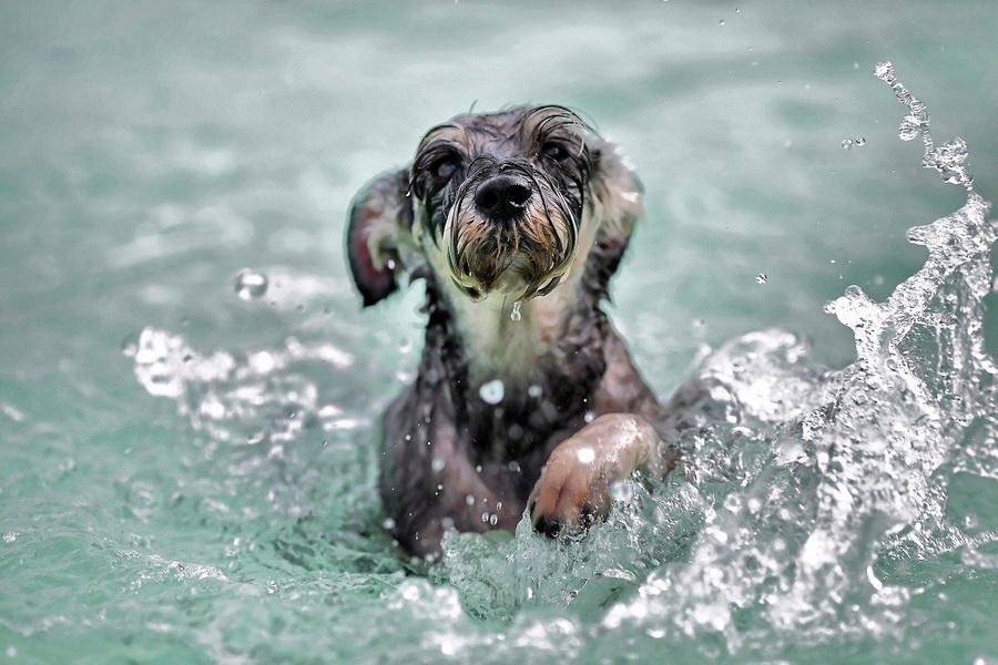 Pes Plavání