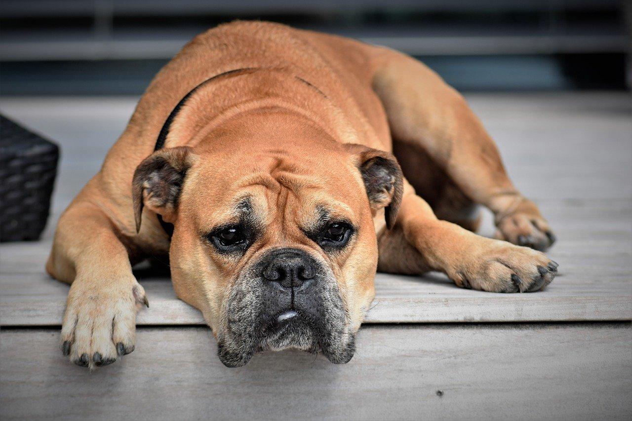 Demence u psů - jak ji poznat a léčit